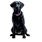 Paper House Productions - Dog Collection - Mini Die Cut Piece - Black Labrador