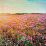 Paper House Productions - France Collection - 12 x 12 Paper - Field of Lavender