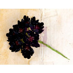 Prima - Engraver Collection - Flower Embellishments - Black