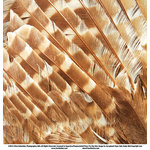 SugarTree - 12 x 12 Paper - Owl Feathers