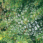 SugarTree - 12 x 12 Paper - Dew Drops on Evergreens
