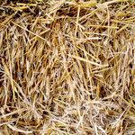 SugarTree - 12 x 12 Paper - Hay