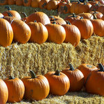 SugarTree - 12 x 12 Paper - Pumpkins and Hay Bales